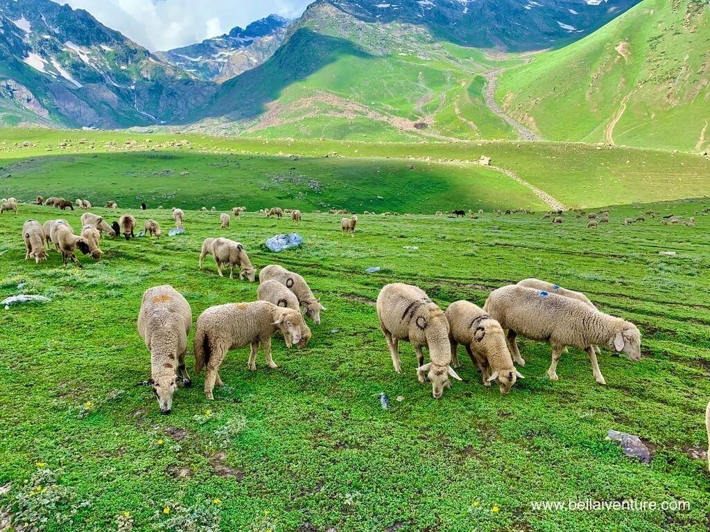 印度 India 北北印  North India 喀什米爾 Kashmir 大湖健行 trekking Kashmir Great Lakes Trek 牧羊放牧