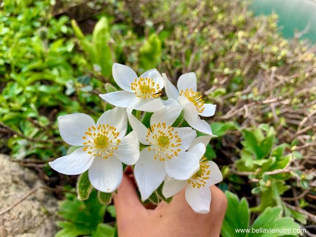 印度 India 北北印  North India 喀什米爾 Kashmir 大湖健行 trekking Kashmir Great Lakes Trek 白色野花