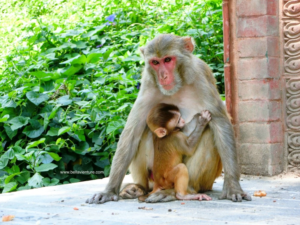 斯瓦揚布納特佛寺Swayambhunath猴廟 monkey temple 猴群
