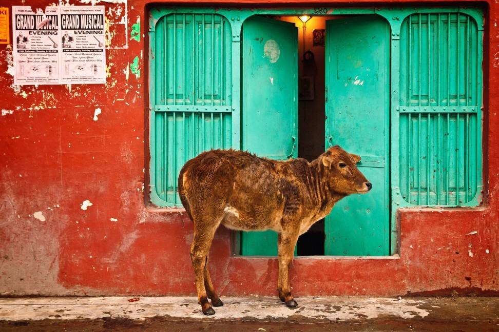 印度 街景 神聖 牛
