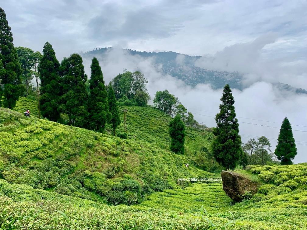 印度 大吉嶺 茶園 快樂谷