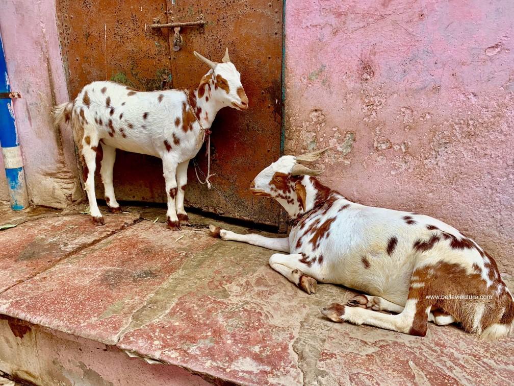 印度 India  阿格拉 Agra 泰姬瑪哈陵 Taj Mal 羊Goat