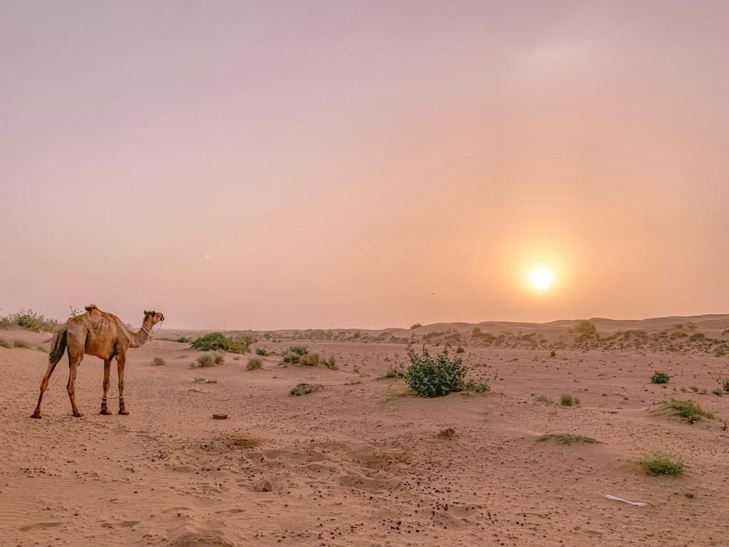 印度 india 賈莎梅爾 jaisalmer 沙漠 desert  駱駝 camel 日出 sunrise