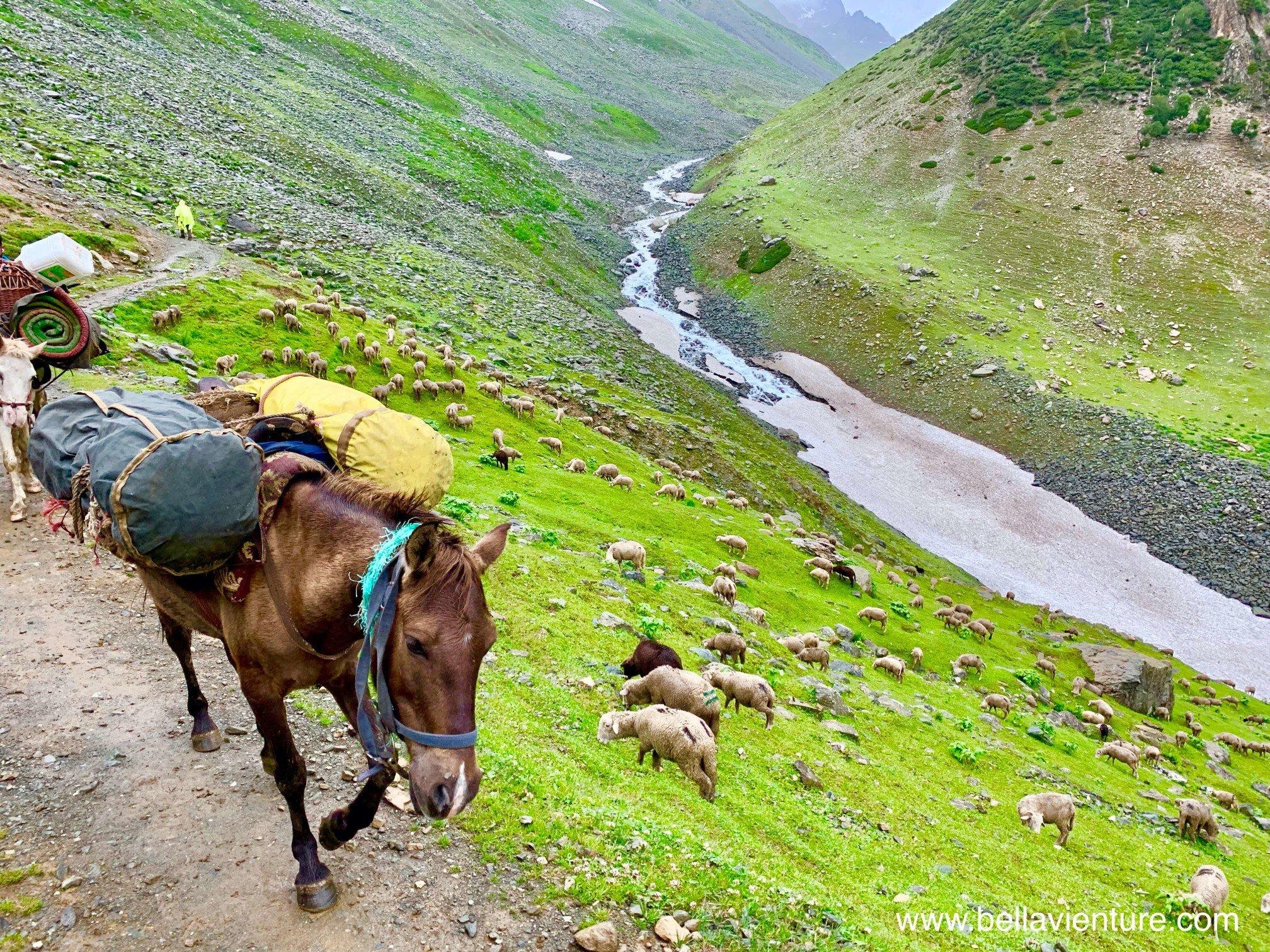 印度 India  喀什米爾 Kashmir  北北印 North India 八天七夜健行 馬兒 讓路