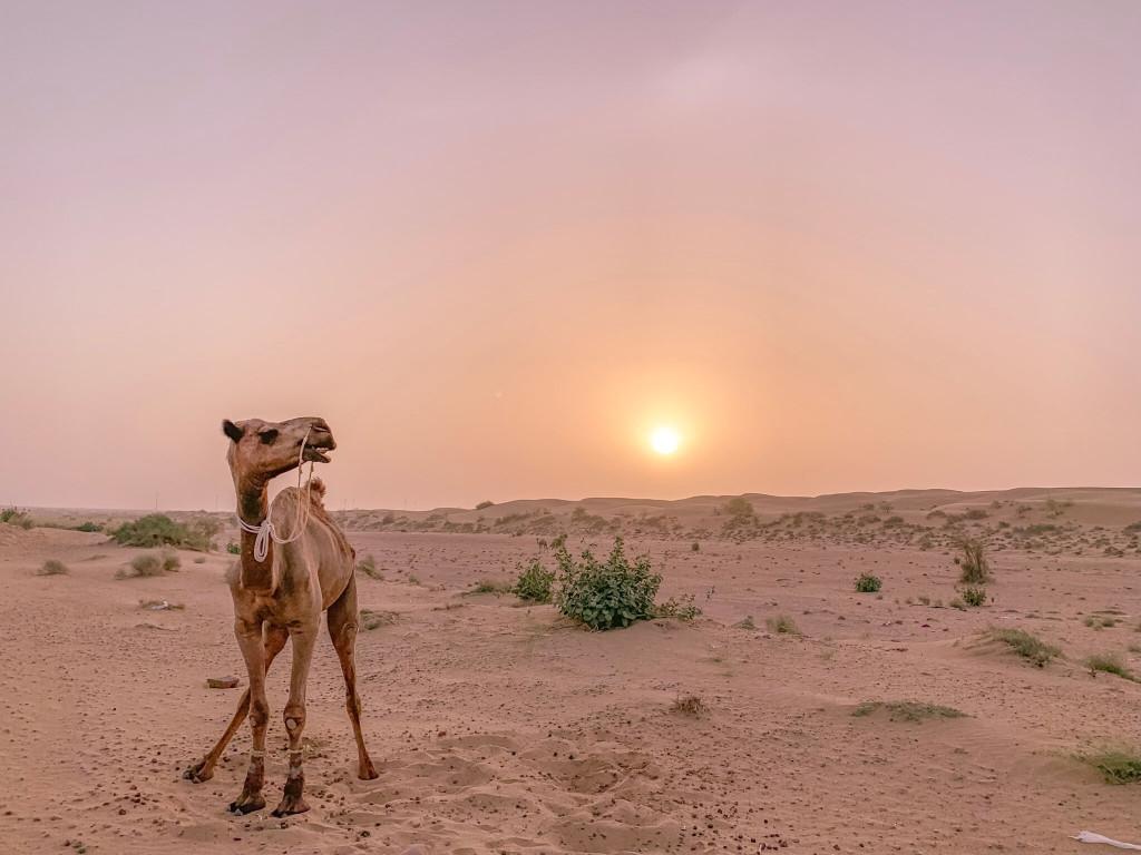 【印度】21天秒決定到印度兩個月!賈莎梅爾(三)Day 25 沙漠與駱駝行.沙漠中的日出.前往印度首都-德里!