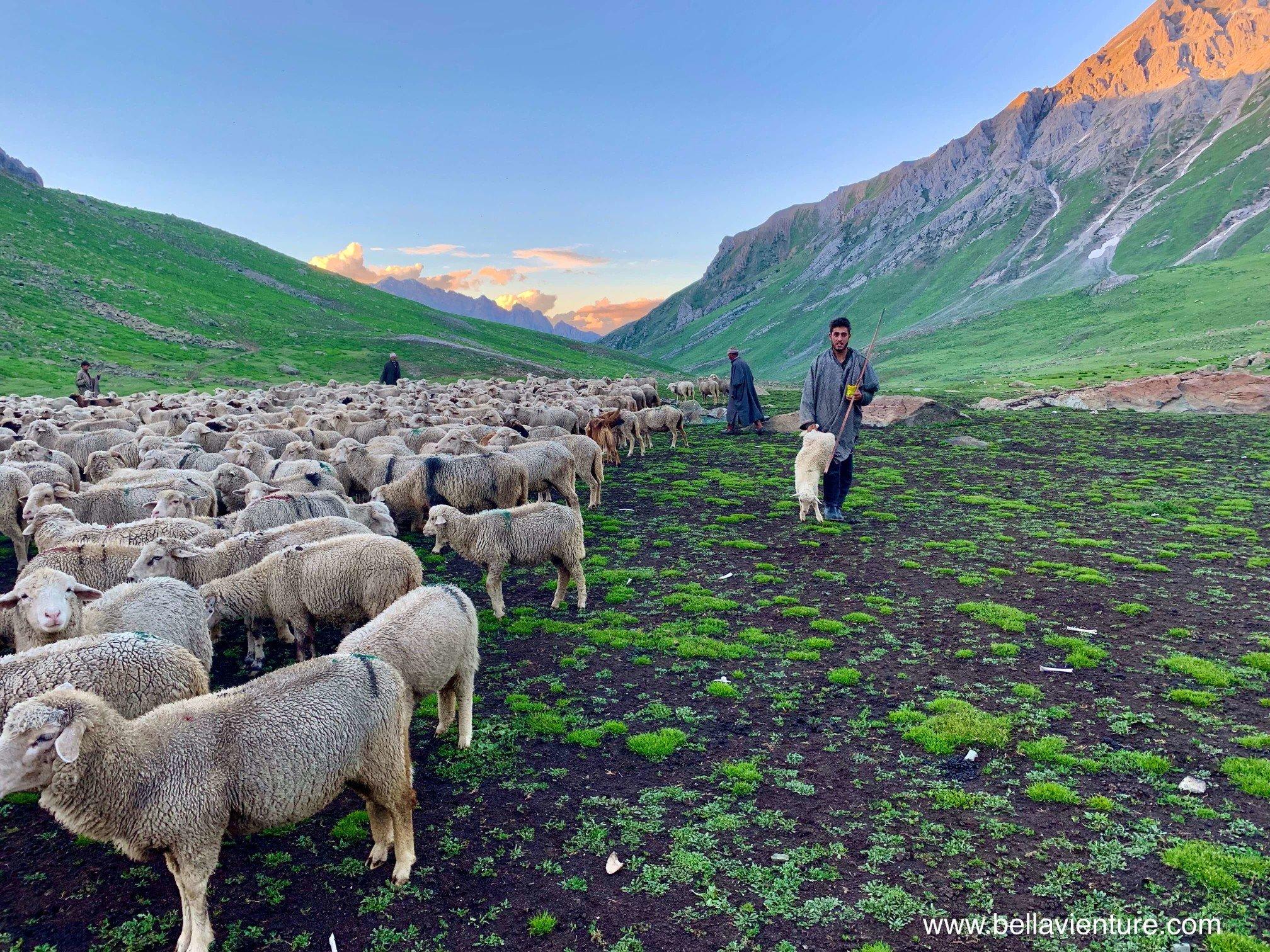 印度 India 北北印 North India 喀什米爾  Kashmir 八天七夜 健行 Nichnai Valley 牧羊人與小綿羊 傍晚的山谷