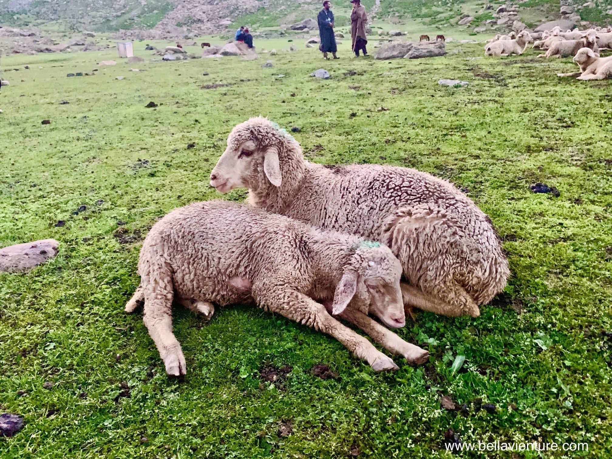 印度 India 北北印 North India 喀什米爾  Kashmir 八天七夜 健行 Nichnai Valley 兩隻小綿羊