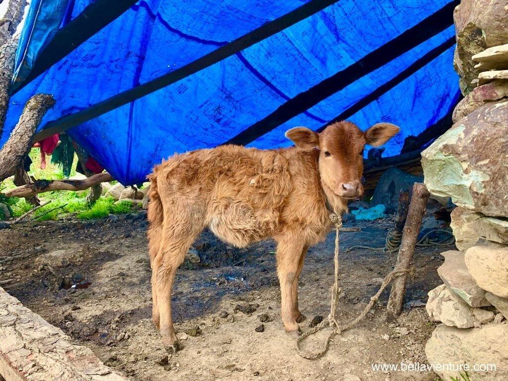 印度 india 喀什米爾 kashmir 大湖健行big lake trekking 牧羊人比較長的小牛