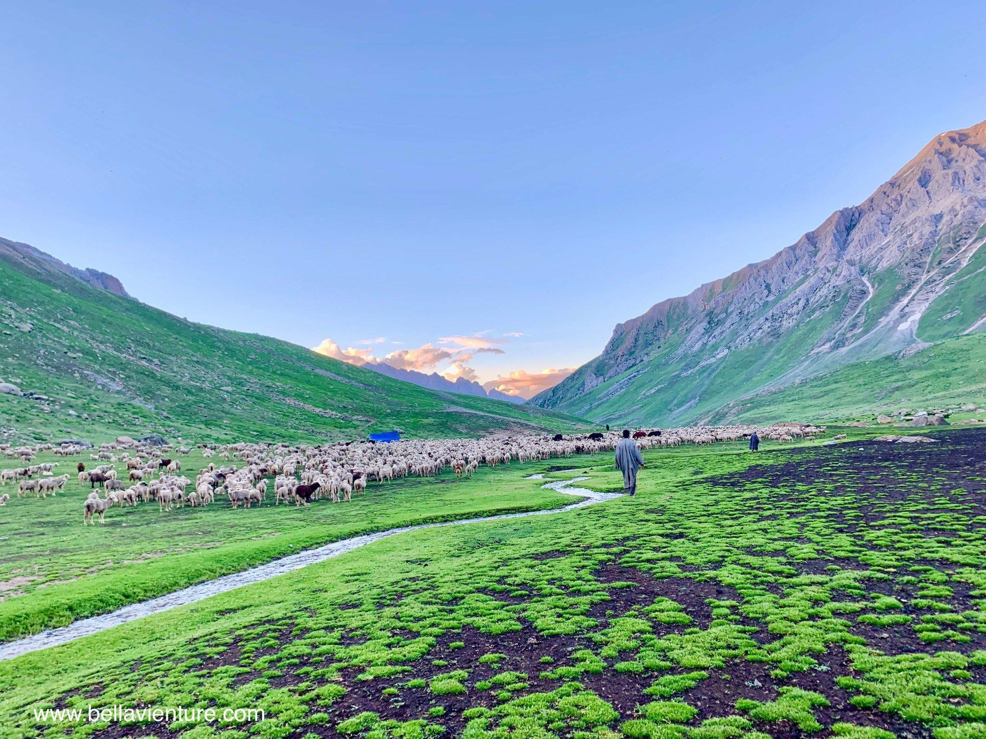 印度 India 北北印 North India 喀什米爾  Kashmir 八天七夜 健行 Nichnai Valley 傍晚的山谷與千隻羊群