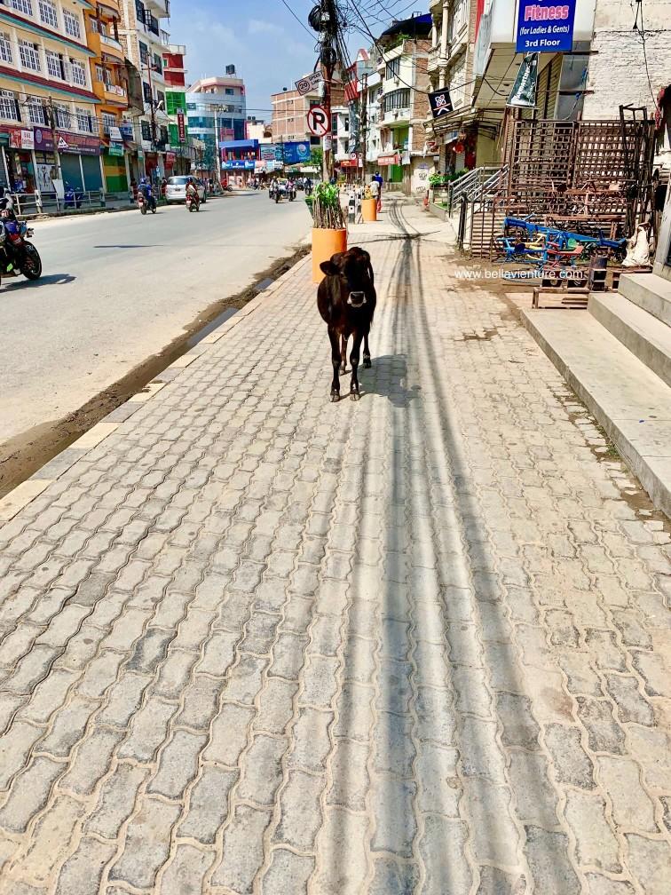 尼泊爾 加德滿都 牛 街道