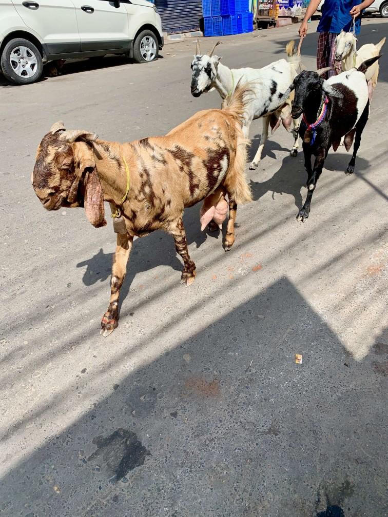 印度 加爾各答 街道 羊群