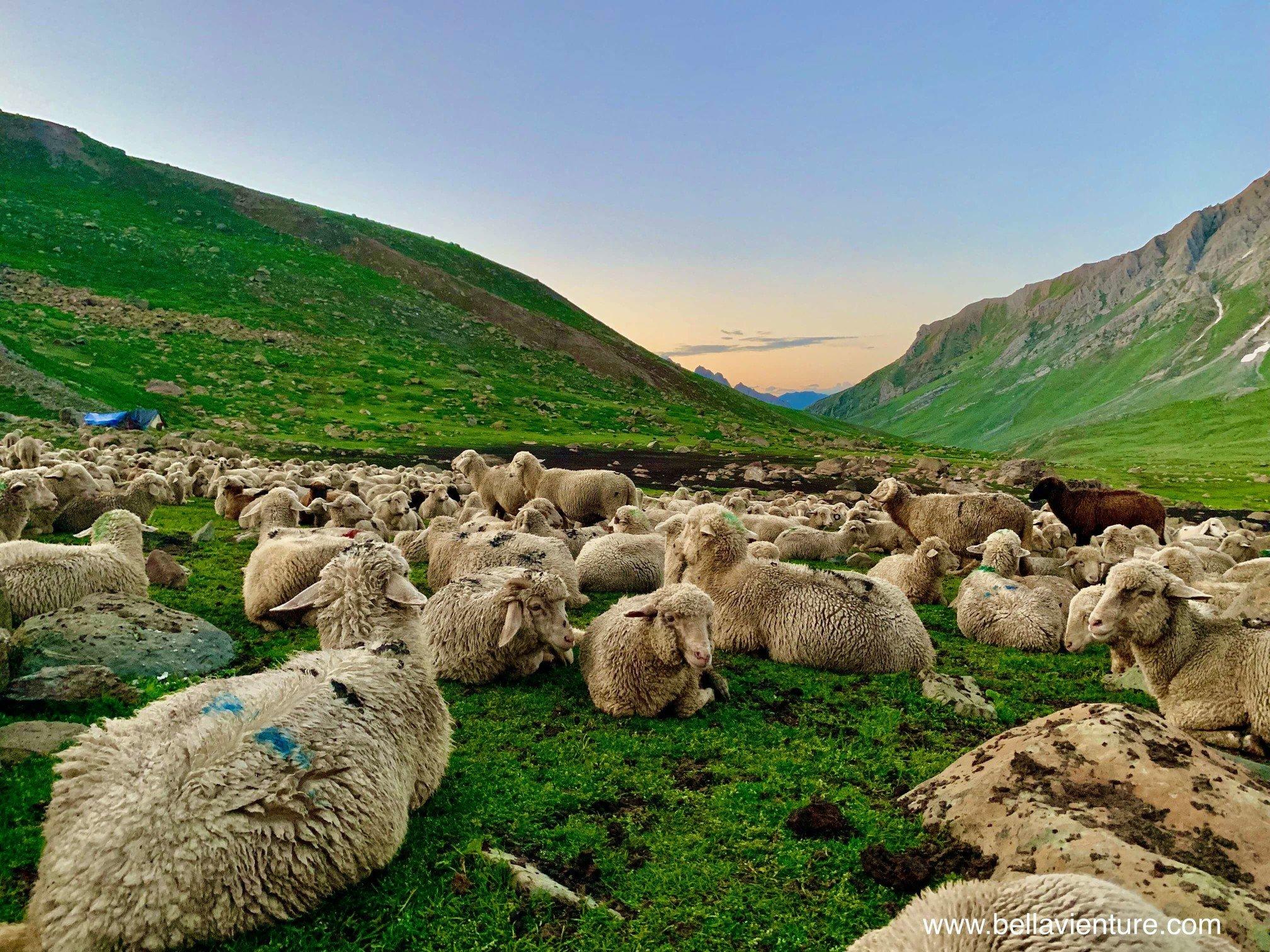 印度 India 北北印 North India 喀什米爾  Kashmir 八天七夜 健行 Nichnai Valley 傍晚被趕回來的千隻綿羊