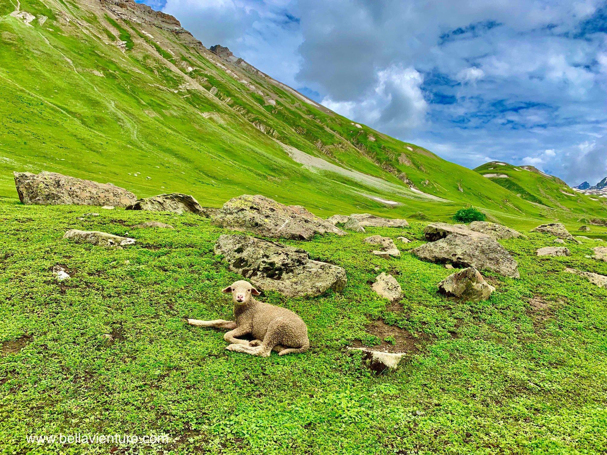 印度 India 北北印 North India 喀什米爾  Kashmir 八天七夜 健行 小綿羊