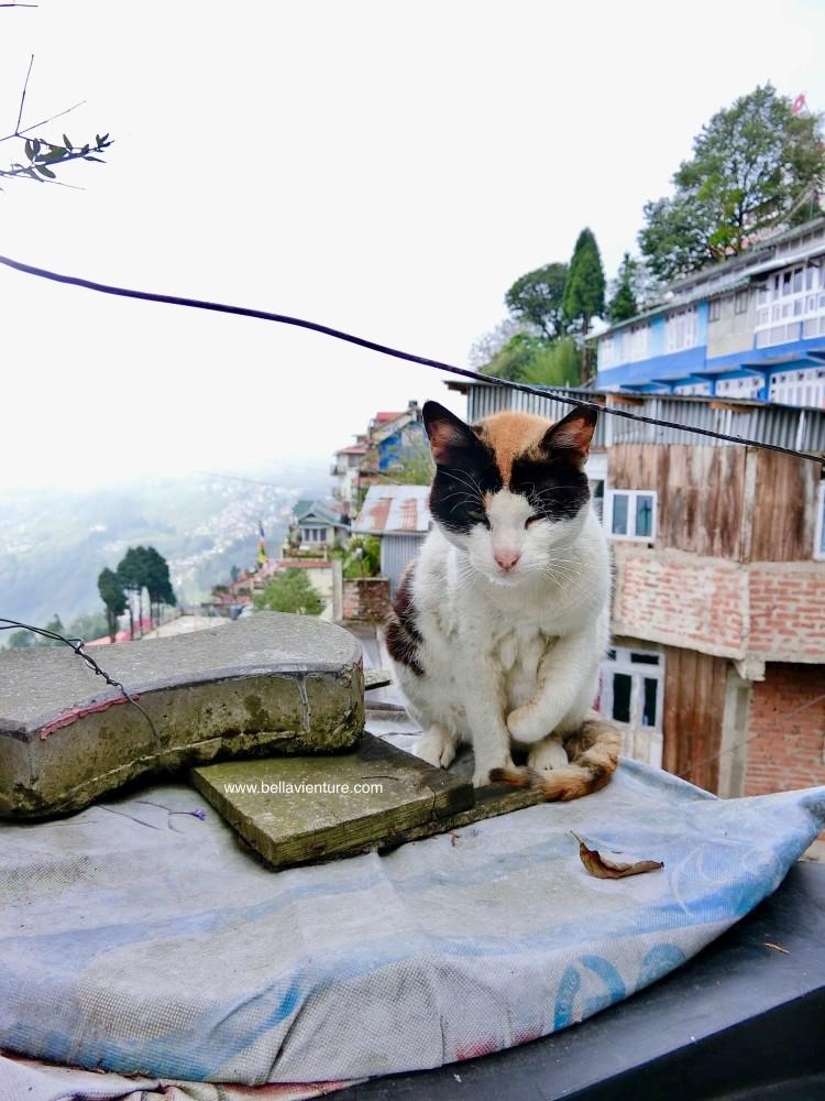 印度 大吉嶺 街景 貓咪