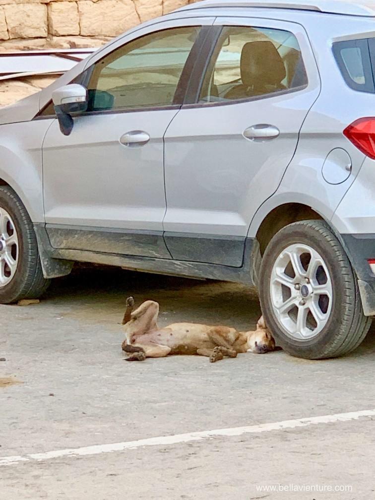 印度 india 賈莎梅爾Jaisalmer 金色城市golden city doggie