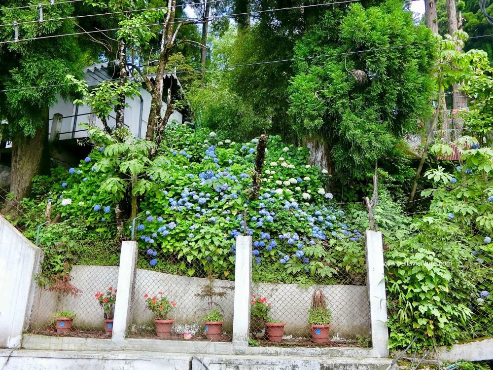 印度 大吉嶺 街景 繡球花