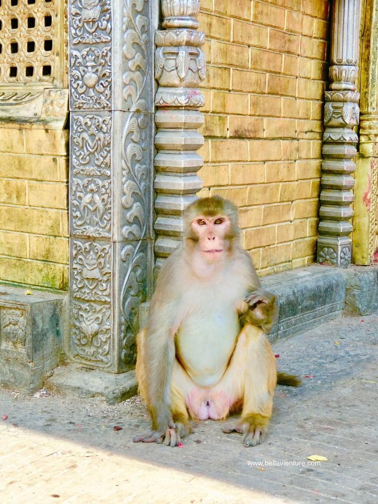斯瓦揚布納特佛寺Swayambhunath猴廟 monkey temple 過於自在的 猴子