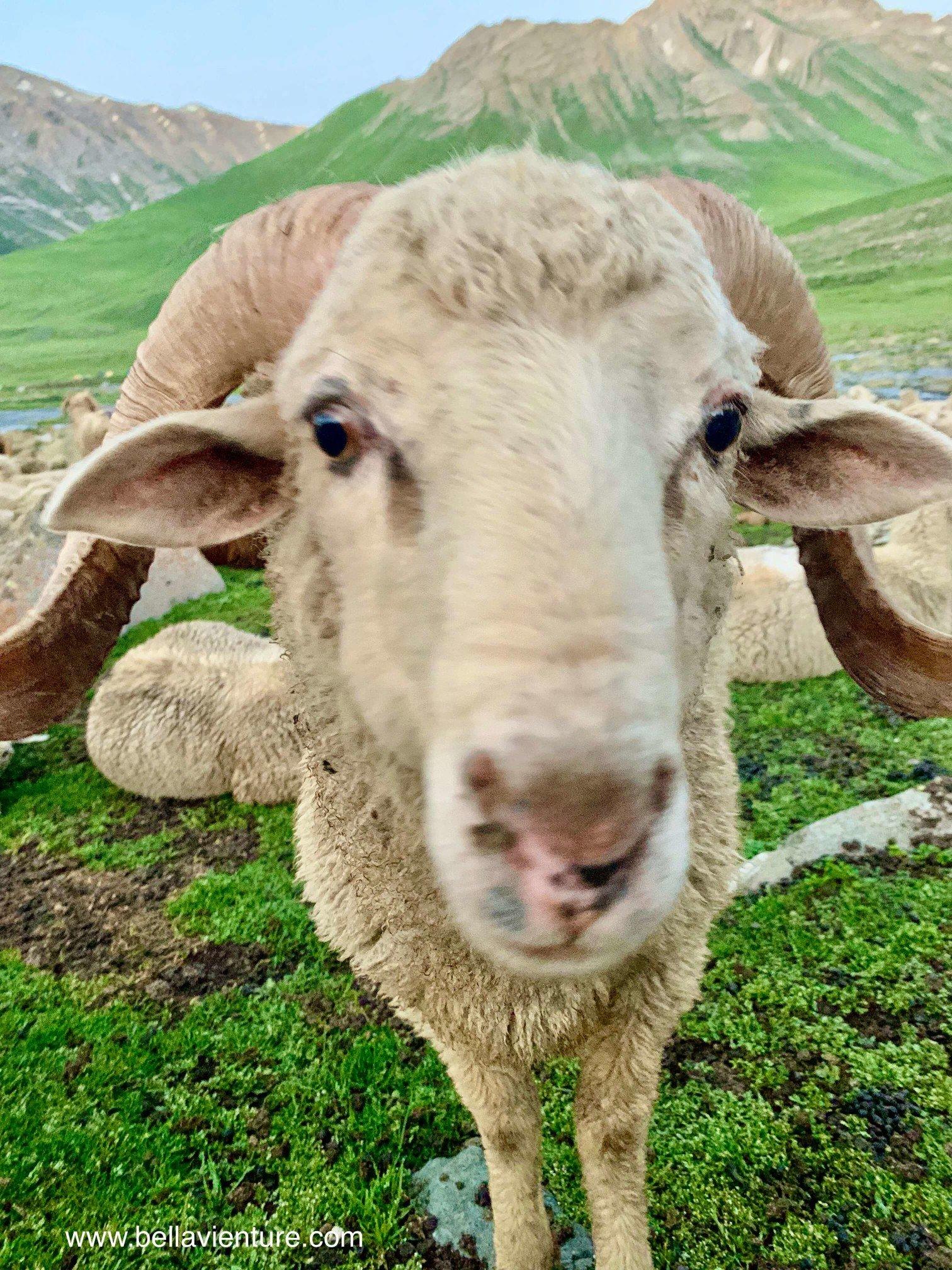 印度 India 北北印 North India 喀什米爾  Kashmir 八天七夜 健行 Nichnai Valley 湊上鏡頭的綿羊