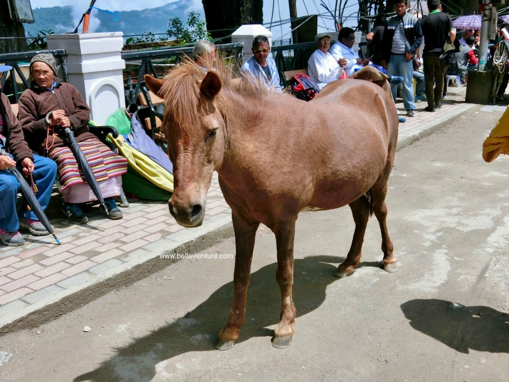 Chowrasta廣場 馬匹