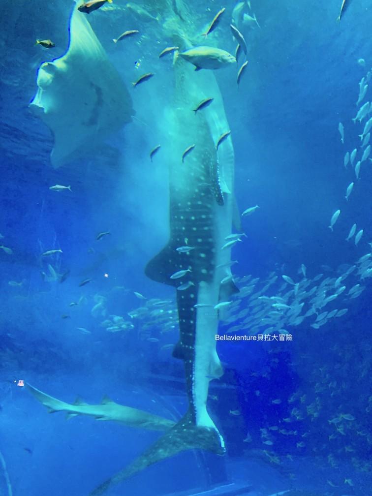 沖繩 美麗海水族館 鯨鯊餵食秀 必看